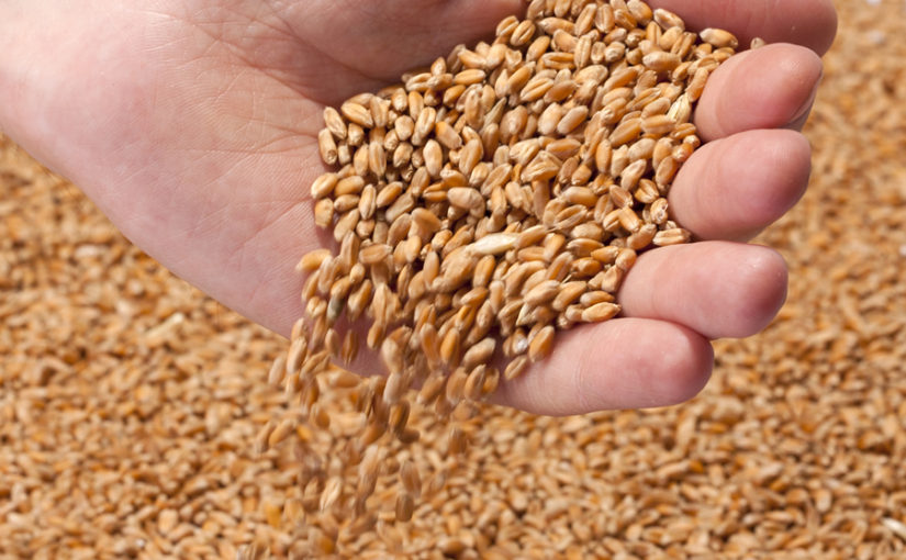 Wheat in hands image
