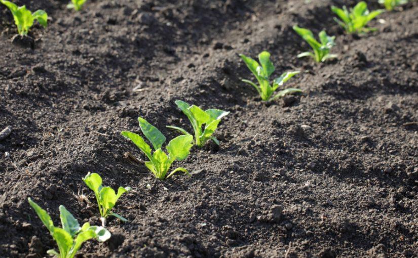 Soyabean seedlings